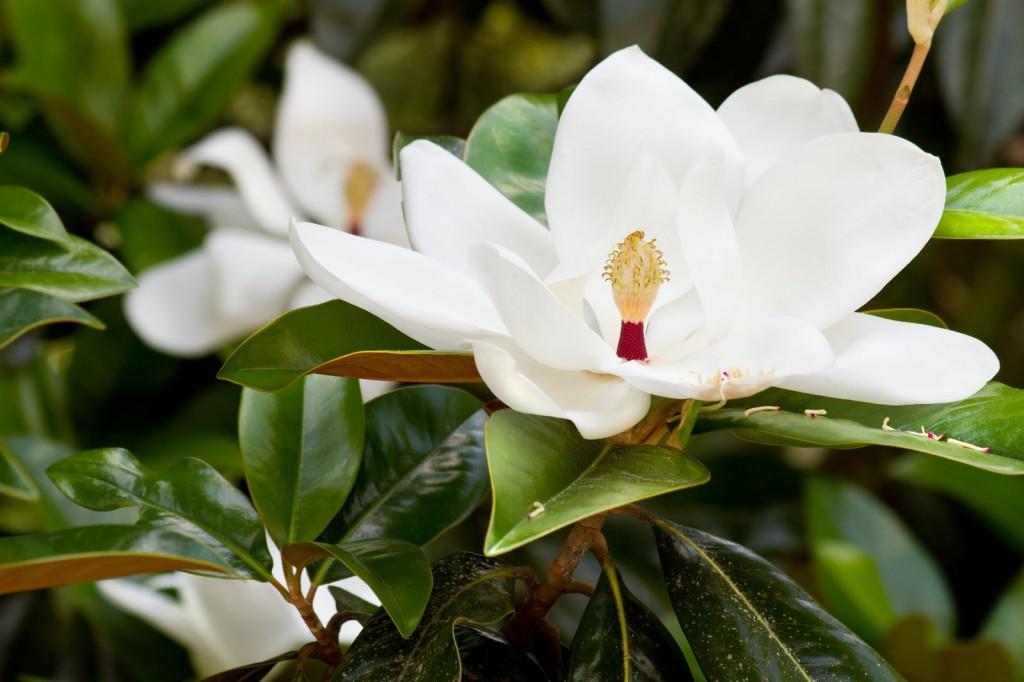 110527 5756 Magnolia email
